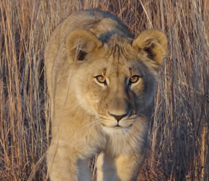 Lion at Dinokeng Game Reserve